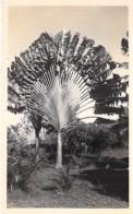 ** Carte Photo / Real Photo ** AFRIQUE NOIRE - CONGO Pointe Noire : PALMIER A IDENTIFIER - Palm Trees Palmen Palme - Bäume