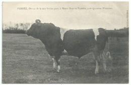 29 Plonéis - Taureau Championnat De Paris 1906 - Pernez éleveur à Menez Braz - Andere Gemeenten