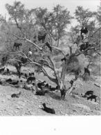 Photo Maroc Surpâturage Des Chèvres Au Sud De Marrakech Vivant Univers Années 1990 - Africa
