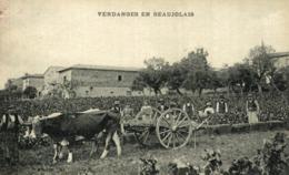 Vendanges En Beaujolais, Attelage De Boeufs  France Frankreich - France