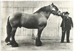 Animaux - Cheval - Etalon Mulassier élevage Français - Publicité Soufrane - Horses