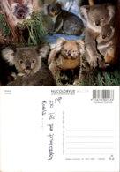 KOALAS,AUSTRALIA POSTCARD - Tierwelt & Fauna