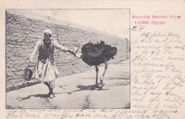 2511177Cairo, Matarich Ostrich Farm 1908 (see Corners) - Le Caire