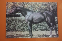 """""""Stavropolie Stars"""" - Tersky Horse Plant - Arab Breed  - Stallion Named Vympel - OLD USSR  PC  1988 - Rare! - Chevaux"""