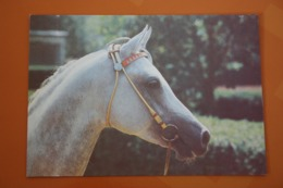"""""""Stavropolie Stars"""" - Tersky Horse Plant - Arab Breed  - Stallion Named Pakistan- OLD USSR  PC  1988 - Rare! - Chevaux"""