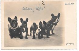 French Bulldog, Bouledogue Français, Französische Bulldogge, Lovely Photocard From 1942 - Cani