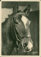 AK Hannoversche Stute, Um 1960, Eckschaden Oben Rechts / Corner Damage / Angle Avec Dommage (32009) - Chevaux