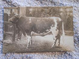 Cpa   Photo Taureau Cachet Concours Agricole Grand Palais Paris 1913 - Stieren