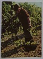 COGNAC HENNESSY - Vendanges En Grande Champagne - Harvest - Area Of The Charentes -  Nv - Vigne