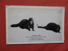 Sterling Mink 1931 Winner At Virginia Minn>  Ref 3713 - Animaux & Faune