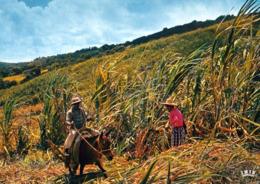 1 AK Insel Reunion * Sugar Cane Harvest - Zuckerrohrernte Auf Reunion - Récolte De La Canne à Sucre - IRIS Karte 6019 * - Réunion