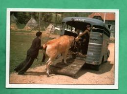 15 Cantal Pierrefort Fin De Foire Retour De La Vache ( Fin Des Années 50) Memoire Sauvetage Du Patrimoine - Francia