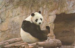Postcard - Giant Panda, Chi Chi - Card No..pt7802 Unused Very Good - Postales