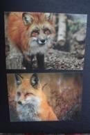 Fox  - Modern Russian Postcard - 2 PCs Lot - Tierwelt & Fauna