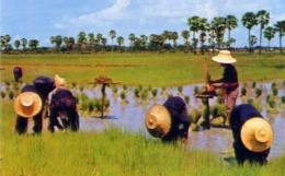 Thailand - Cultivation Of The Rice - Formato Piccolo Non Viaggiata - E 14 - Cartoline