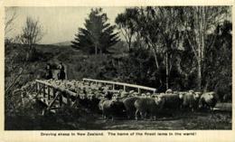DROVING SHEEP IN NEW ZEALAND  NEW ZEALAND NUEVA ZELANDA - Nueva Zelanda