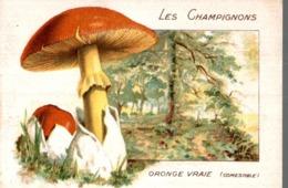 CHICOREE WILLIOT LES CHAMPIGNONS ORONGE VRAIE - Thé & Café