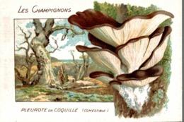 CHICOREE WILLIOT LES CHAMPIGNONS PLEUROTE EN COQUILLE - Thé & Café