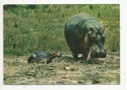Cp, Animaux , Faune Africaine , Maman Et Bébé HIPPOPOTAMES, Vierge - Hippopotames