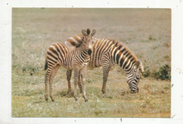 Cp, Animaux , Faune Africaine , ZEBRES , écrite 1966 - Cebras