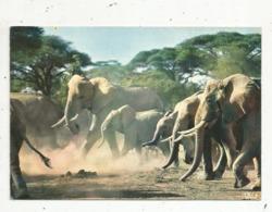 Cp, Animaux , Faune Africaine , TROUPEAU D'ELEPHANTS , Vierge - Elephants