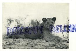 Jeune Lion. Parc National Albert. Congo Belge - Lions