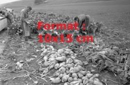 Reproduction D'une Photographie Ancienne D'ouvriers Agricoles Dans Un Champ Debetterave à Sucre En 1966 - Reproducciones
