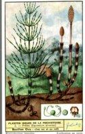 CHROMO LIEBIG  PLANTES ISSUES DE LA PREHISTOIRE  PRELES EQUISETUM  ARVENSE - Liebig
