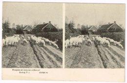 Carte Stéréoscopique - Troupeau De Moutons à Bouwel (Belgique - Province D'Anvers) - Stereoscopische Kaarten