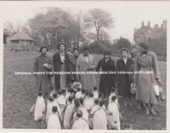 ORIGINAL PHOTO THE PENGUIN PARADE EDINBURGH ZOO 1950-ties SCOTLAND - Midlothian/ Edinburgh
