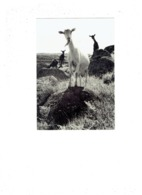 Grande Cpm - Photographe Helmut Krackenberger - Chèvre - Allevamenti