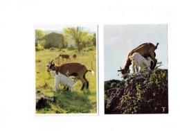 Cpm - Chèvres - Pays D'Oc - Têteur Virtuose / Moïra Et Ses Enfants - Chèvre Allaite Chevreau - Cloche - Allevamenti