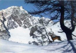 Courmayeur - Pendici Del Checrouit - Fauna Alpina M.bianco - Formato Grande Viaggiata – E 14 - Aosta