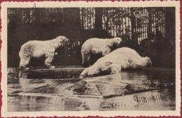 Antwerpen Ijsbeer Ijsberen Polar Bear Ours Blanc Dierentuin Zoo Jardin Zoologique Tiergarten Anvers - Antwerpen