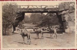 Antwerpen Dromadaire Dromedary Dromedaris Dierentuin Zoo Jardin Zoologique Tiergarten Anvers - Antwerpen