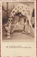 Giraf Giraffe Girafe Jirafa Kameelpardel Postcard Reclame Chocolat Martougin Chocolade - Giraffen