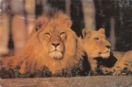 Le Lion Et La Lionne - Lions