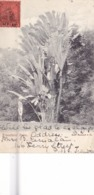 287/ Trinidad, Travellers' Palm 1906 - Trinidad