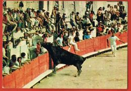 TAUROMACHIE- Course Provençale Aux Arènes -Taureau Vers La Droite- Voyagée 1977-Paypal Sans Frais - Stierkampf