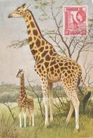 D38566 CARTE MAXIMUM CARD 1957 UGANDA KENYA - GIRAFFE CP ORIGINAL - Giraffes
