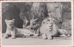 Antwerpen Leeuw En Leeuwin Lion Et Lionne Dierentuin Zoo Jardin Zoologique Zoologie Tiergarten Anvers - Antwerpen