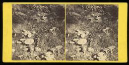 Stereoview - A Fairy Ring SCOTLAND By G. W. Wilson - Stereoscopi