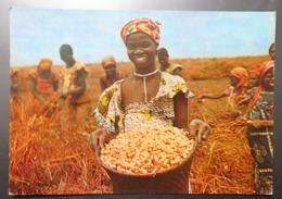 C. P. A. : FERNANDO PO: Récolte Des Cacahuètes, Timbre, édité Par PLASMARINE - Sahara Occidental