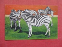 Zebras  Ringling Brother Circus Sarasota Fl  Ref 3727 - Cebras