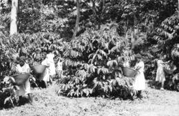 ANGOLA  - Province Portugaise De L'Afrique Occidentale - Cueillette Du Cfé Dans La Région De UIGE - Angola