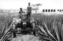 ANGOLA  - Province Portugaise De L'Afrique Occidentale -  Champ De Sisal à Cacuso  -  Tracteur , Agriculture - Angola