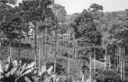 ANGOLA  - Province Portugaise De L'Afrique Occidentale -  Forêt De Caféiers Dans La Région Des Dembos - Angola