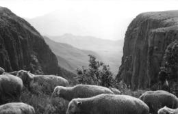 ANGOLA  - Province Portugaise De L'Afrique Occidentale -  Montagne De Chela  -  Ovins , Moutons - Angola