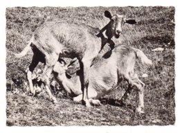 Scène Alpestre (Chèvres) (F2) - Animaux & Faune
