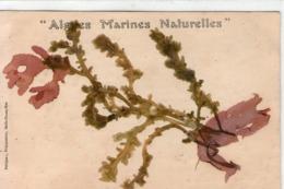 56-algues Marines Naturelles-petitjean Preparateur Belle Ile En Mer - Belle Ile En Mer
